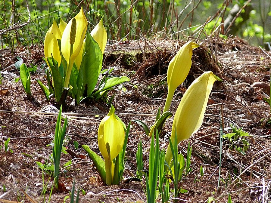 Die gelben Blüten . . .