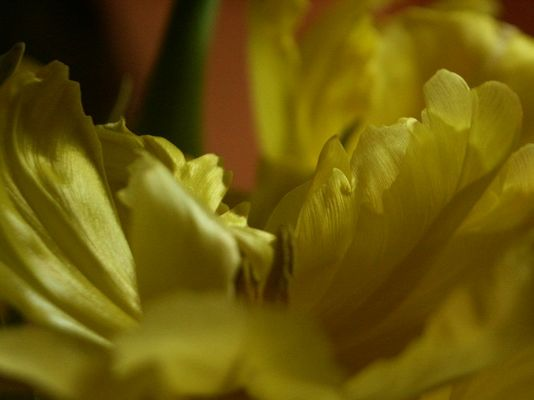 Die gelben Tulpen