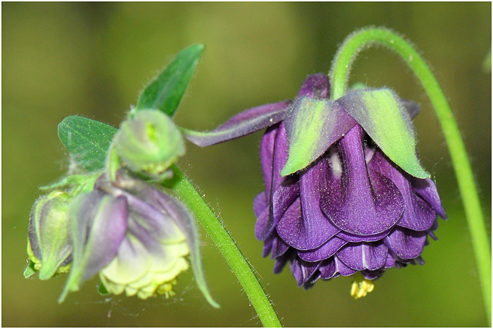 die gemeine akelei aquilegia vulgaris auch wald akelei foto bild pflanzen pilze. Black Bedroom Furniture Sets. Home Design Ideas