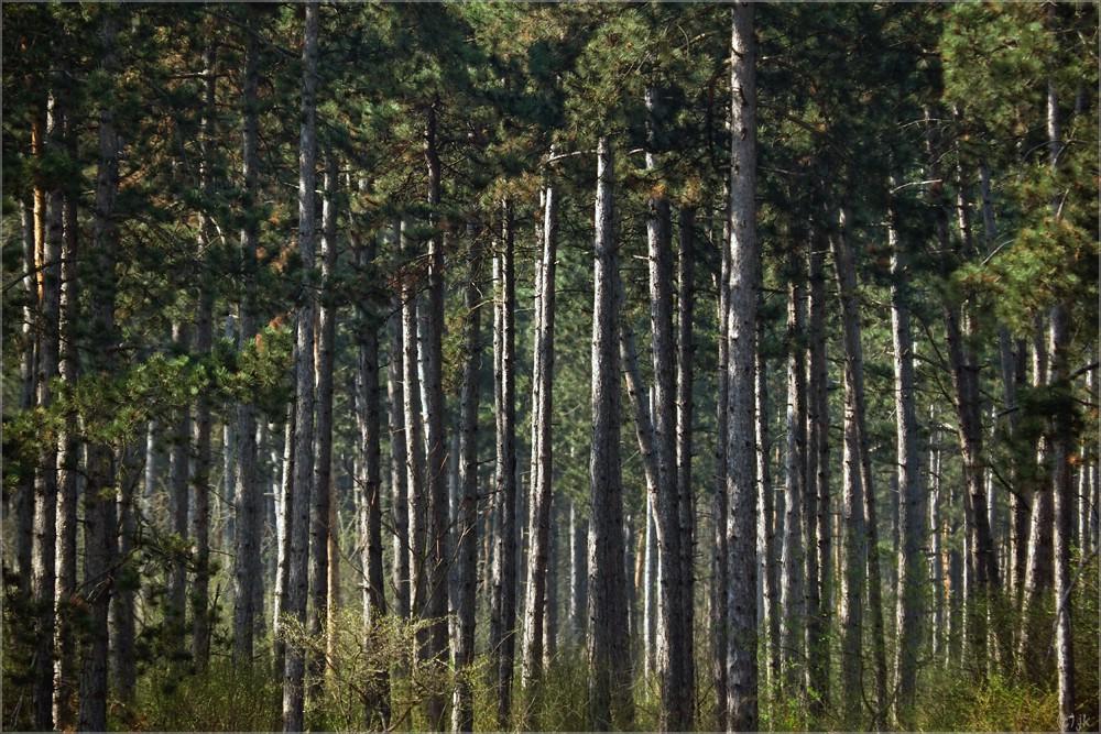 die geschichte der föhrenwälder...