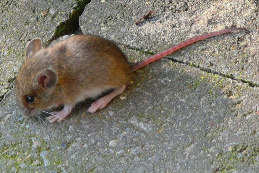 Die Geschichte mit der Maus ........