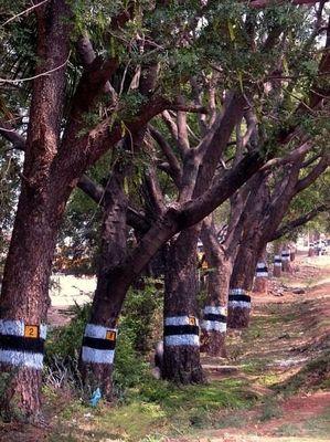 Die Geschichte von den numerierten Tamarindenbaeumen__The Story of the Numbered Tamarind Trees