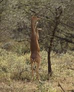 Die Giraffengazelle