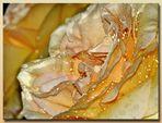 die Glanzperlen einer Rose...