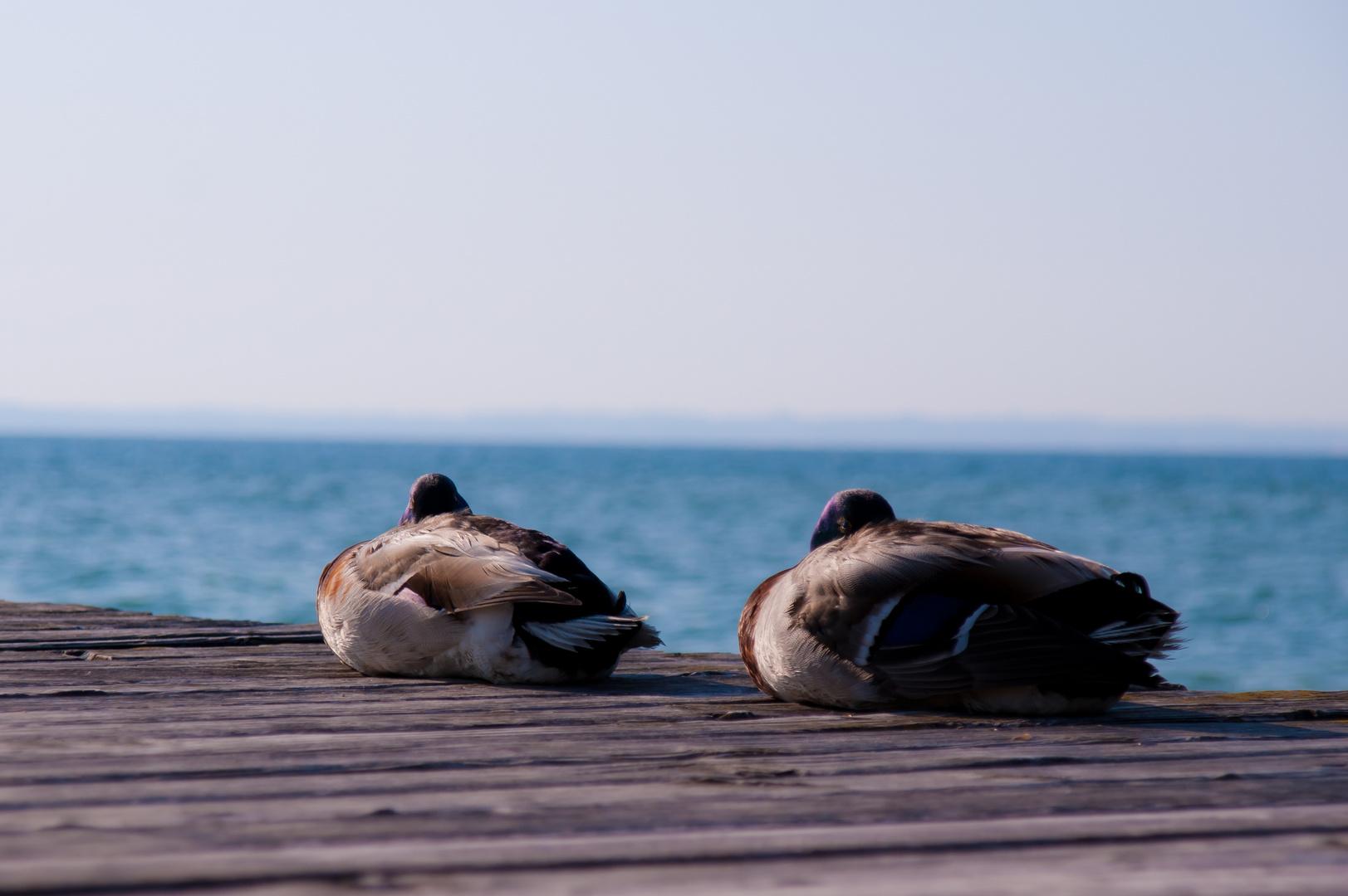 Die glücklichen Enten am Lago di Garda