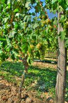 Die glücklichen Trauben im Lugana Weingebiet
