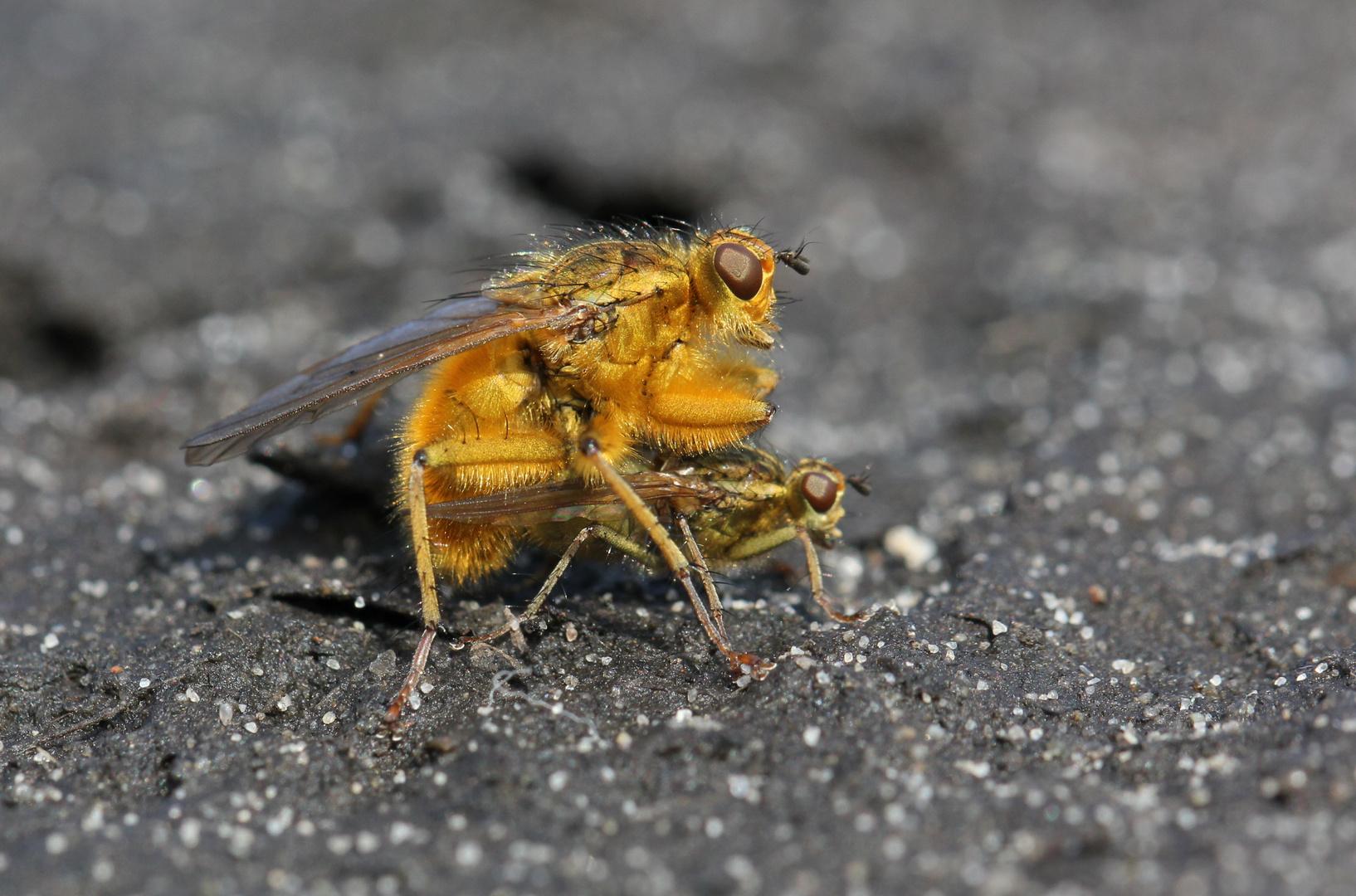 Die goldene Fliege