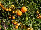 Die goldene Welt der Zitruspflanzen