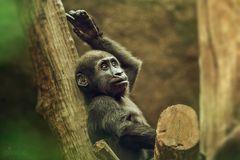 Die Gorillapose