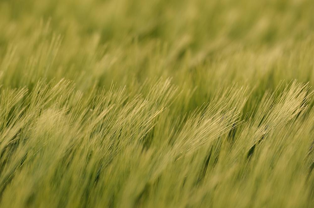 Die Grannen der jungen Gerste wiegen sich im Wind. Die Gerste (Hordeum vulgare)...