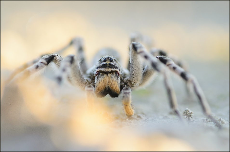 Die größte Spinne Mitteleuropas...