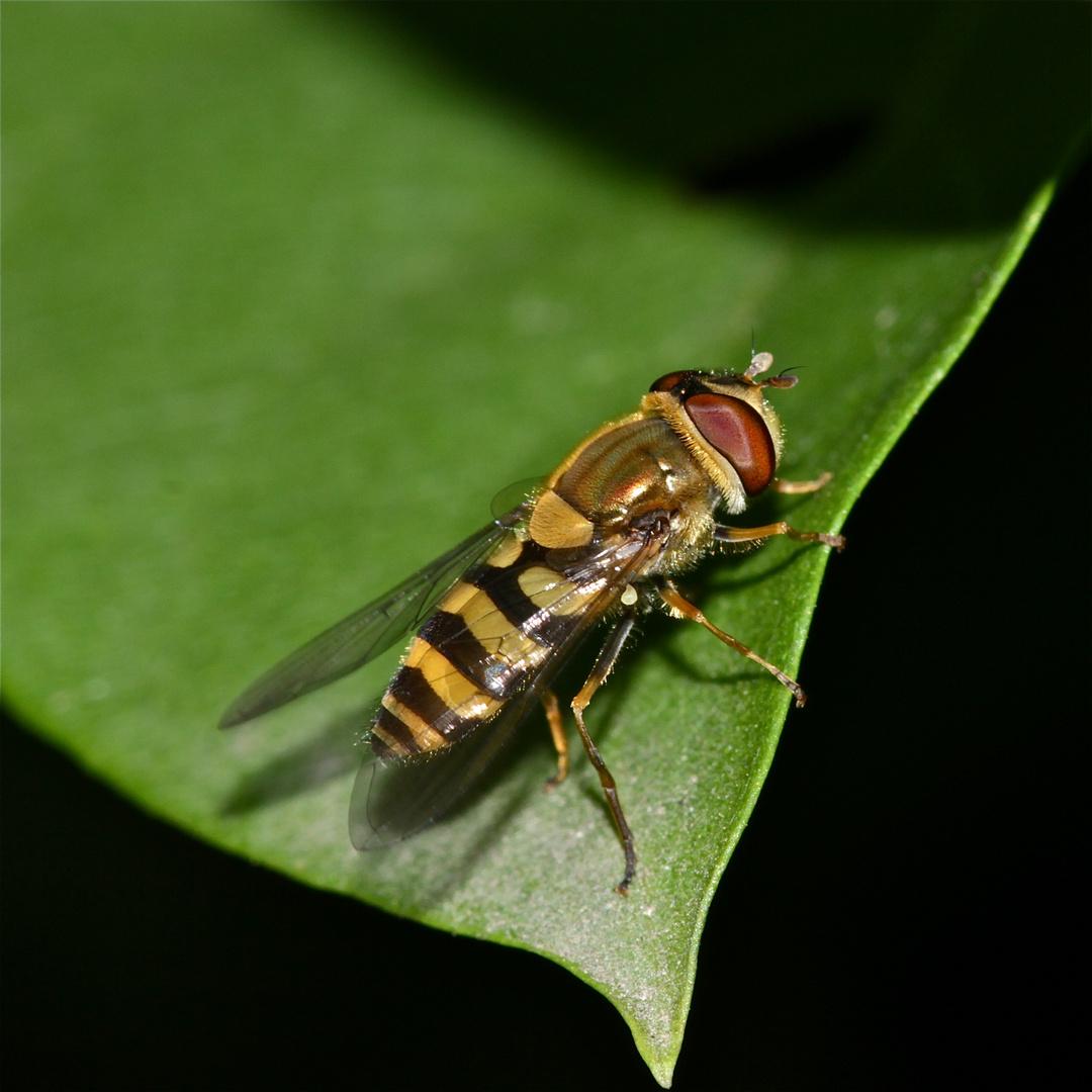 """Die """"Große"""" Schwebfliege (Syrphus ribesii), ein Männchen."""