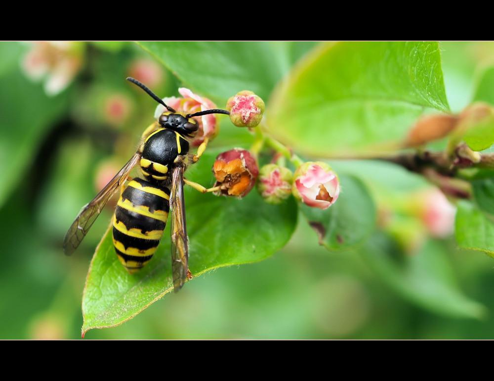 Die große Wespe...