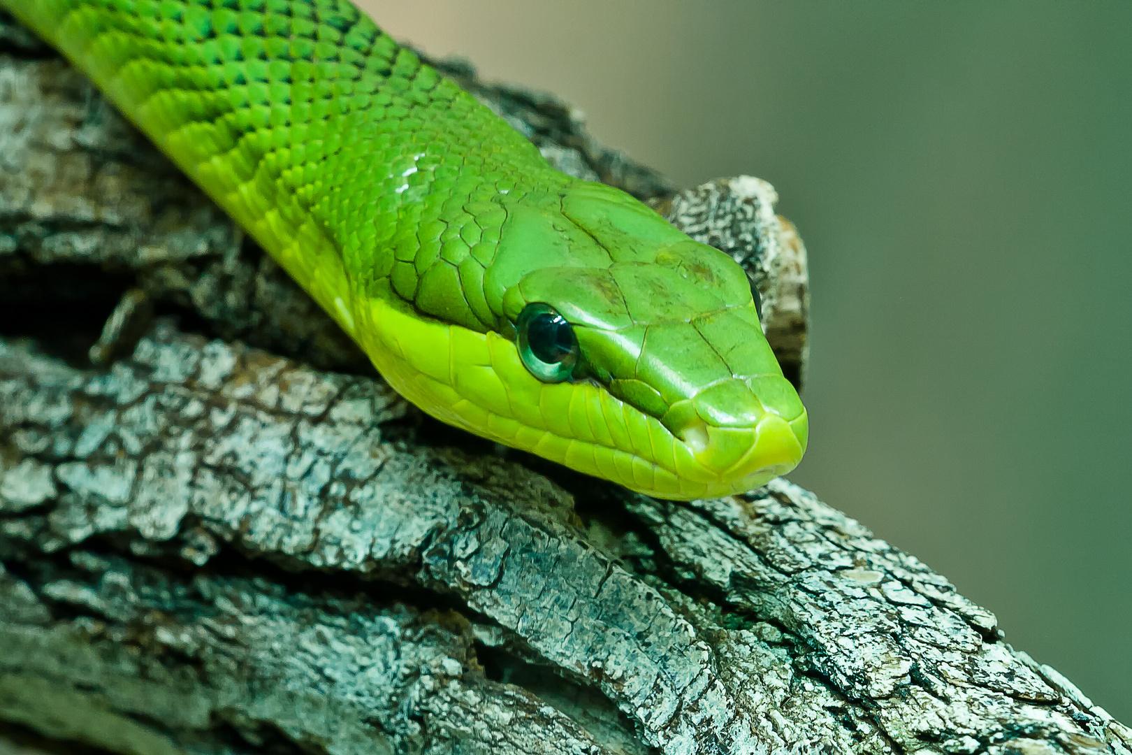 Die Grüne Mamba