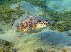 Die Grüne Meeresschildkröte ...