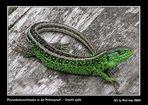 Die grünliche Färbung der Zauneidechsenmännchen während der Paarungszeit