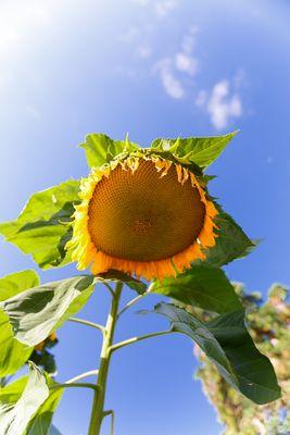 """Die """"Guten-Morgen""""-Sonnenblume"""