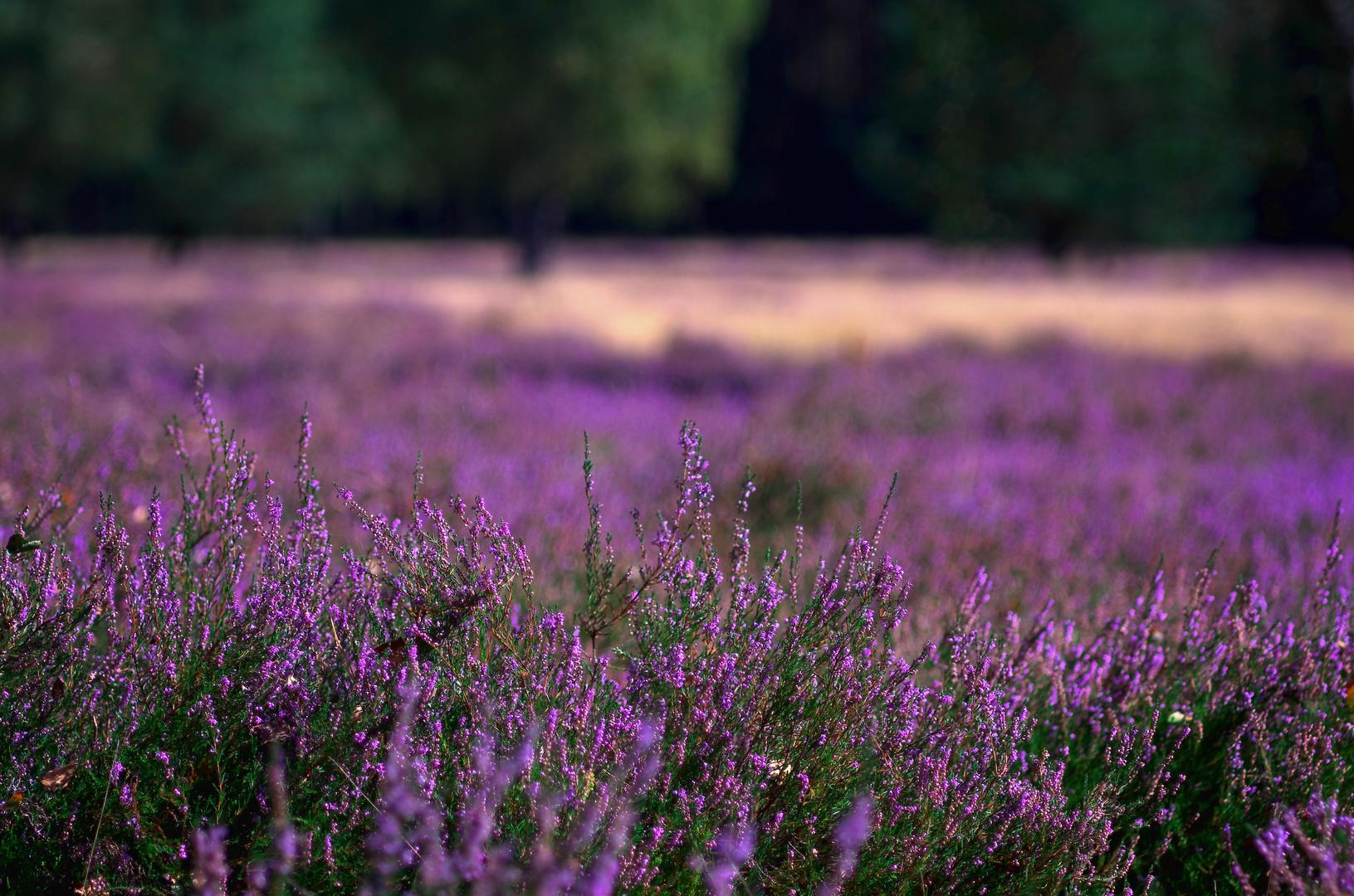 Die Heide