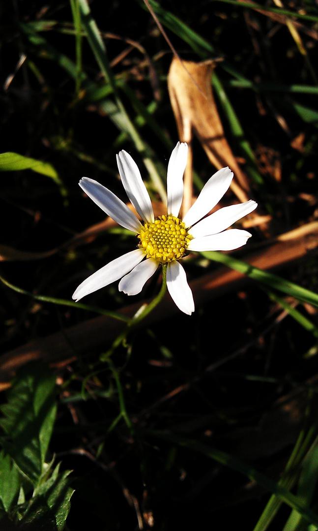 Die helle Blume