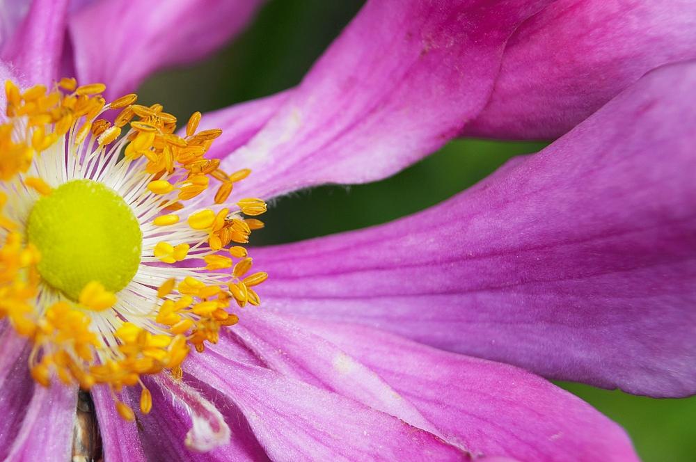 die Herbstanemonen blühen trotz des vielen Regens unermüdlich