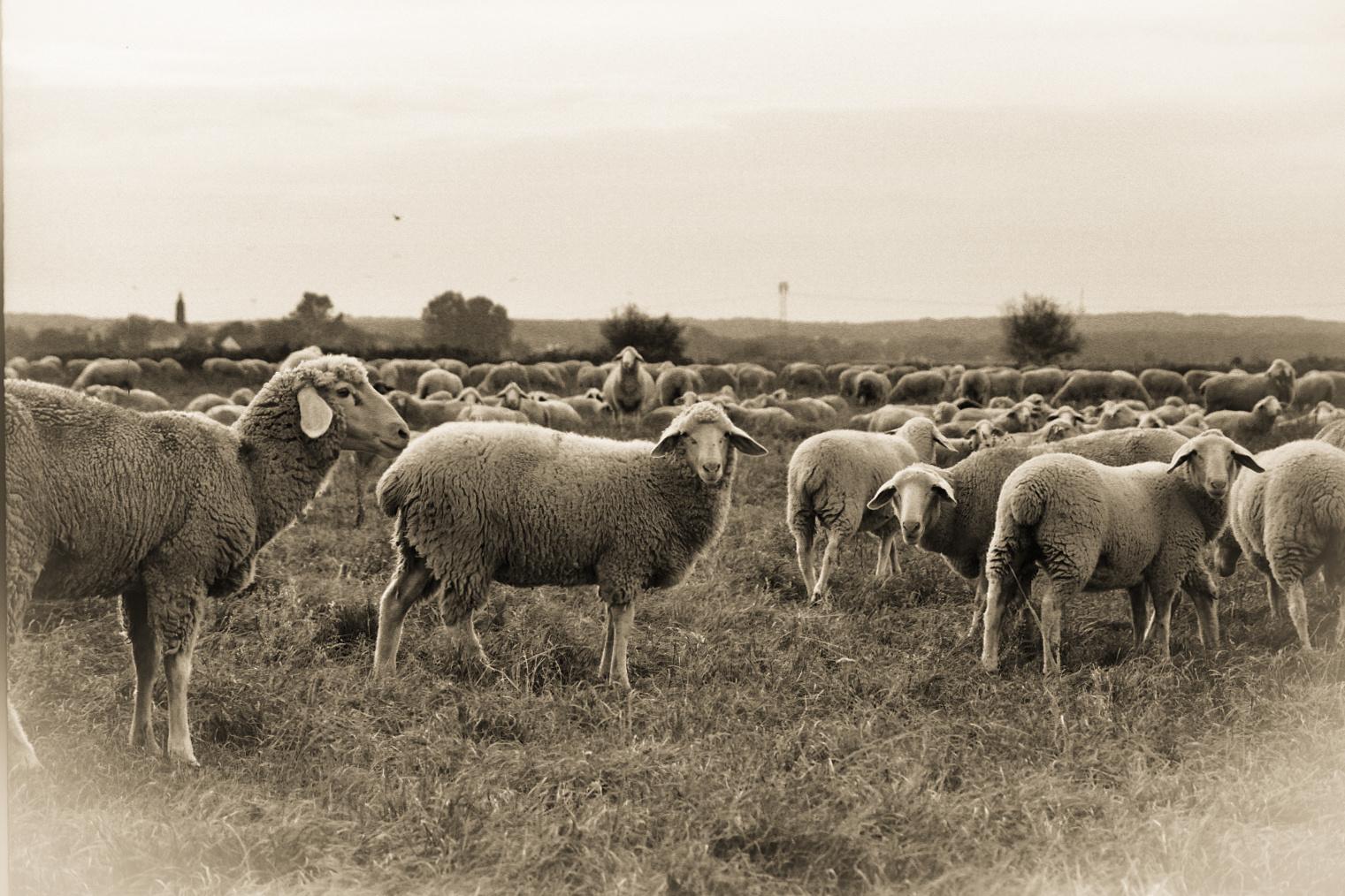 Die Herde