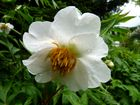 Die Himalayapfingstrose paeonia emodi