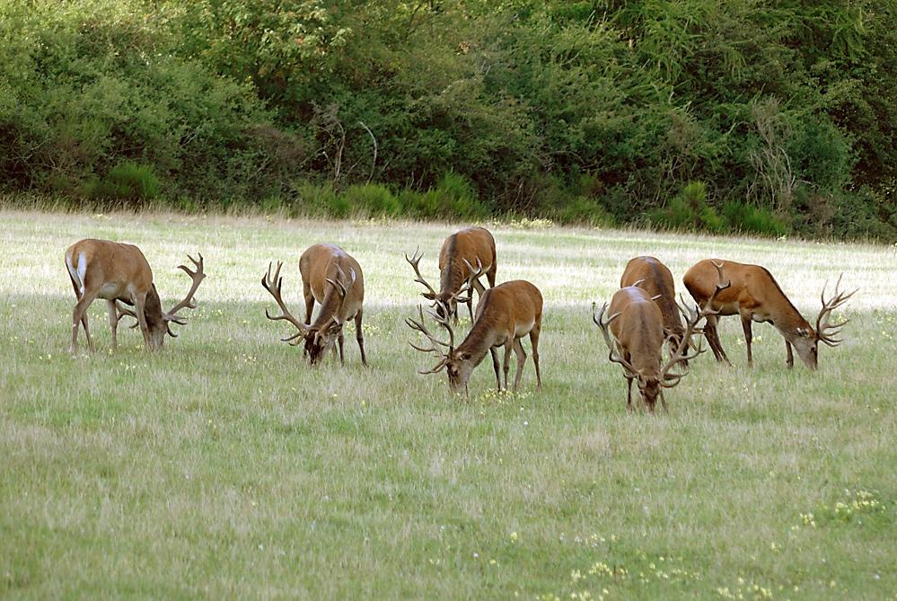 Die Hirsche fressen sich vor der Brunft noch Reserven an: Feistzeit