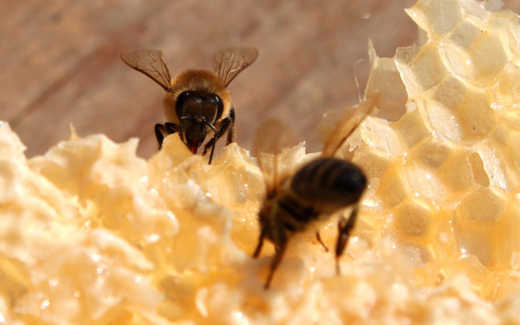 Die Honig Produktion läuft wieder an