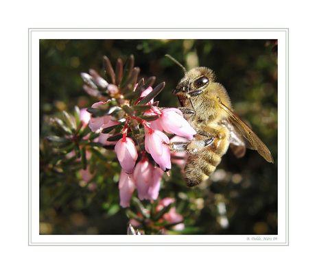 Die Honigsammlerin....