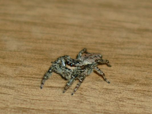Die Hüpf- Spinne