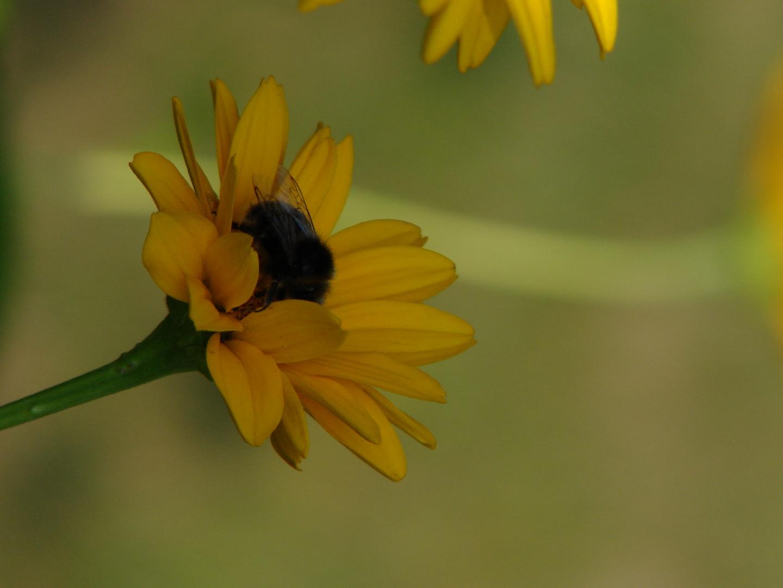 Die Hummel in der Blüte