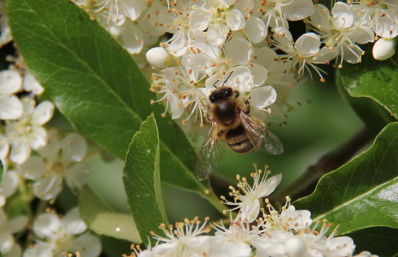 Die hungrige Biene