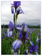 """Die """"Ilgen"""" (Iris sibirica - wild) 3"""