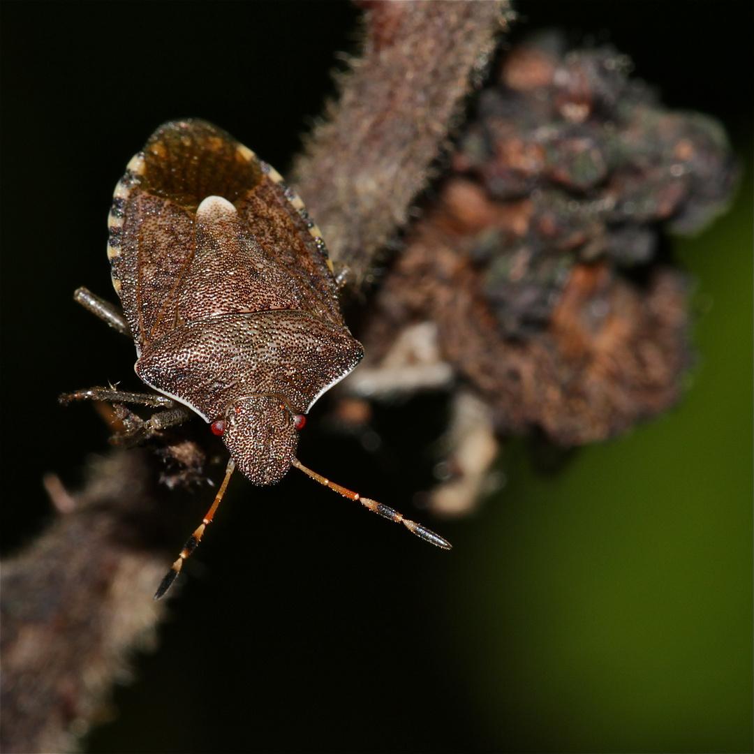 Die Imago (fertiges Insekt) der Baumwanze PERIBALUS STRICTUS, . . .