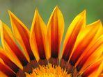Die immer noch unbekannte Blume
