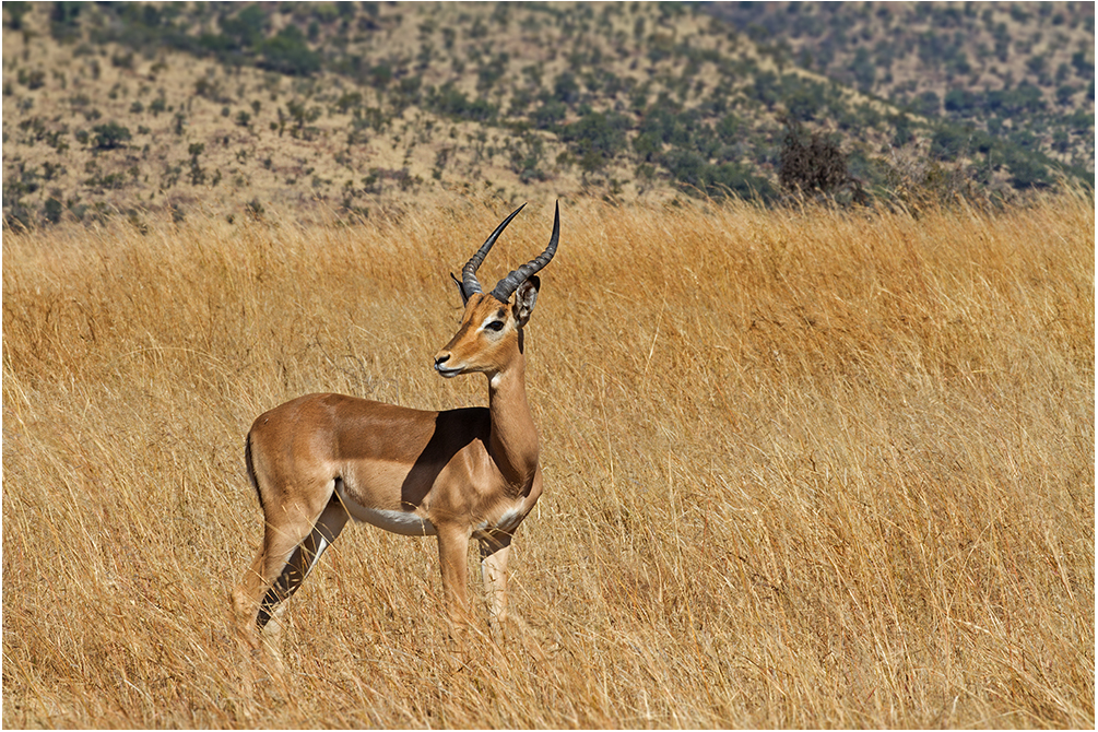 Die Impalas ....