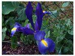 Die Iris blüht !