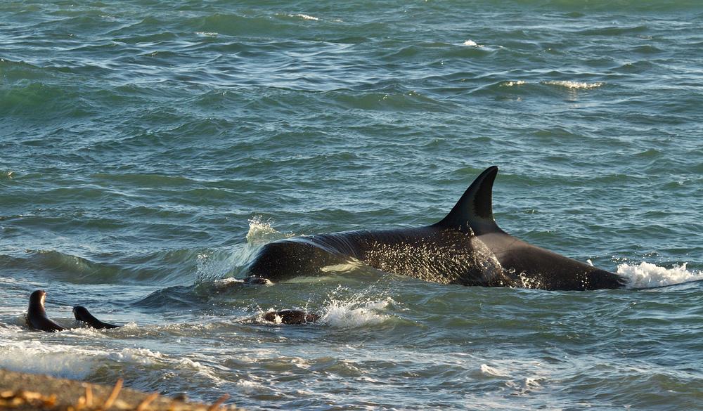 Die Jagd des Orca - II