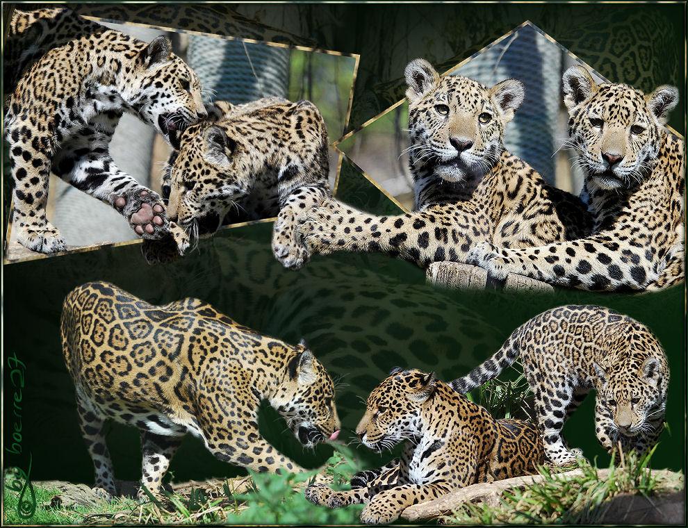 Die Jaguarfamilien-Collage