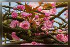 Die japanischen Kirschen blühen 01