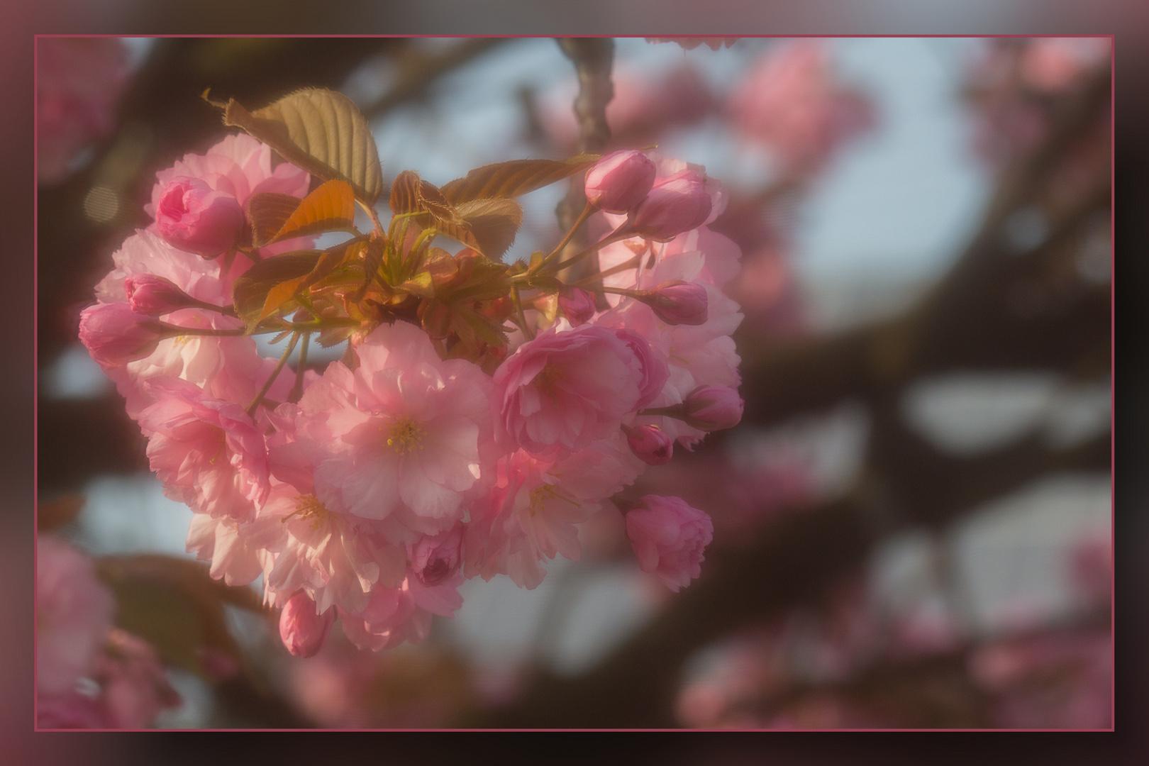 Die japanischen Kirschen blühen 04