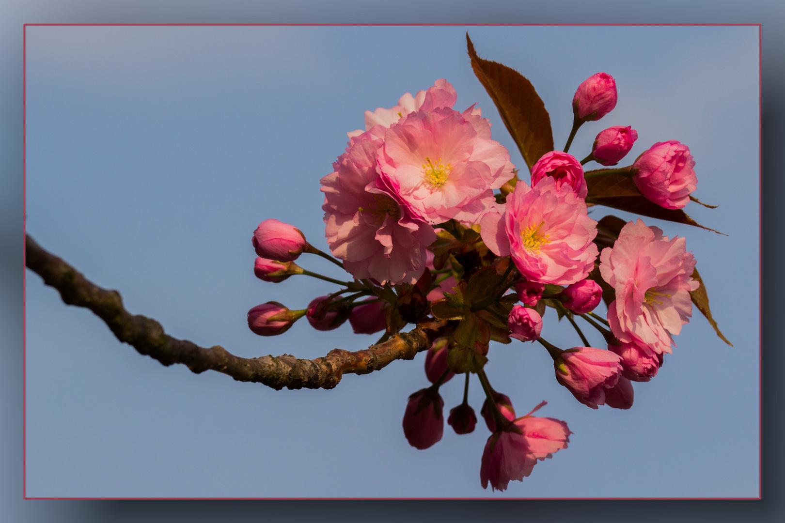 Die japanischen Kirschen blühen 05
