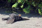 Die Junge Amsel nimmt Sonnenbad