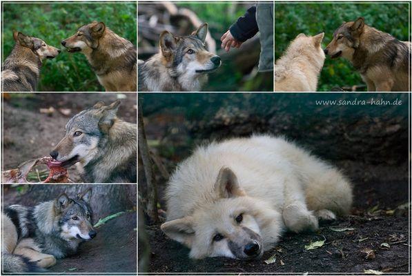Die jungen Wölfe...