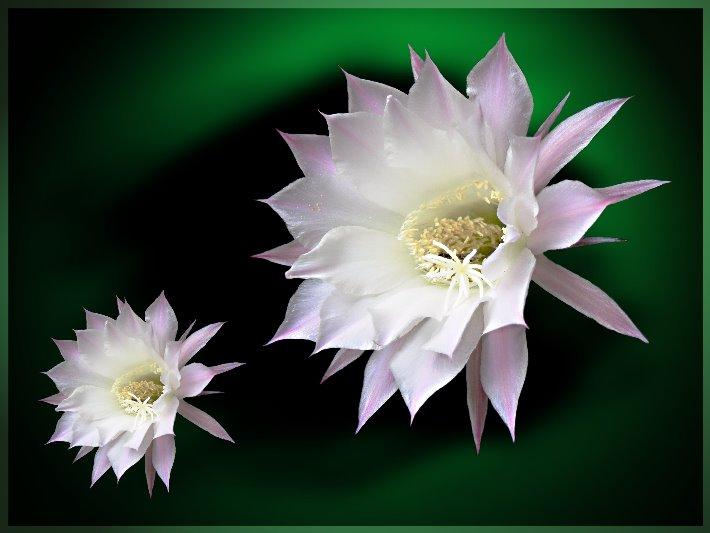Die Kaktusblüte ...