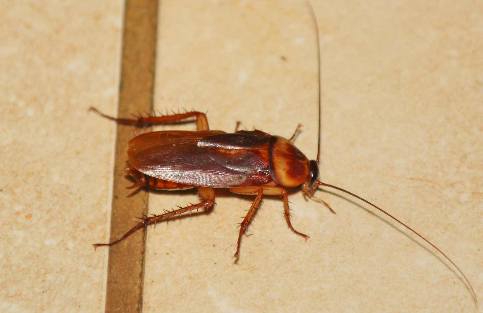 Die kanarische Kakerlake,La Cucaracha