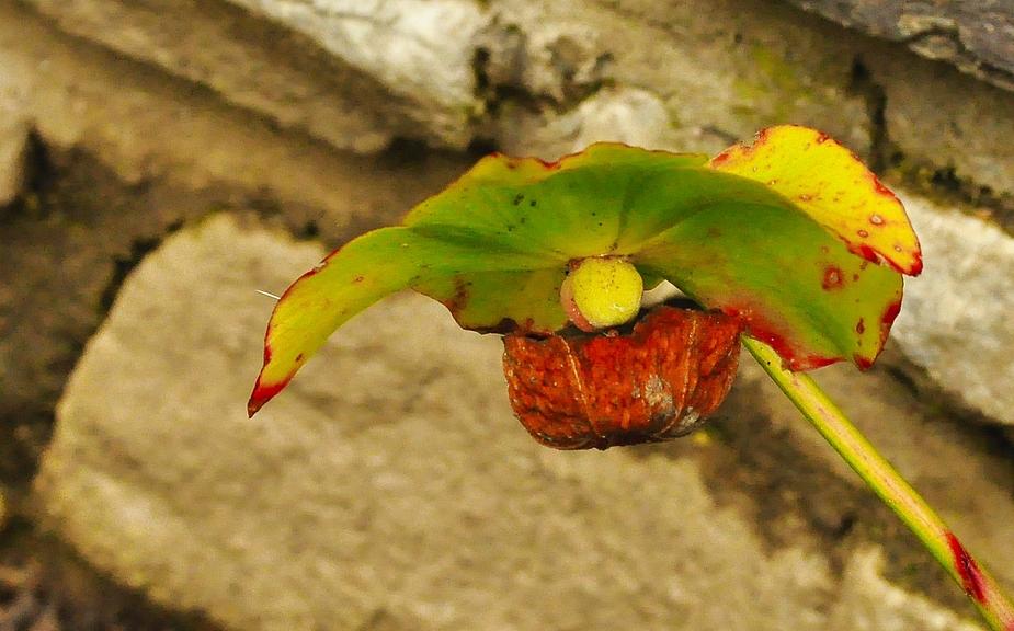 Die Kannenpflanze mit den sehr hohen ( bis 40 cm) Kannen haben schon engezogen