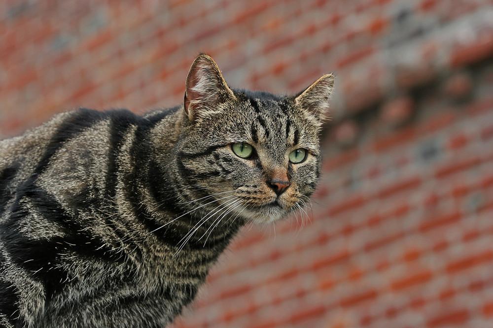 Die Katze auf der Mauer, liegt so auf der Lauer