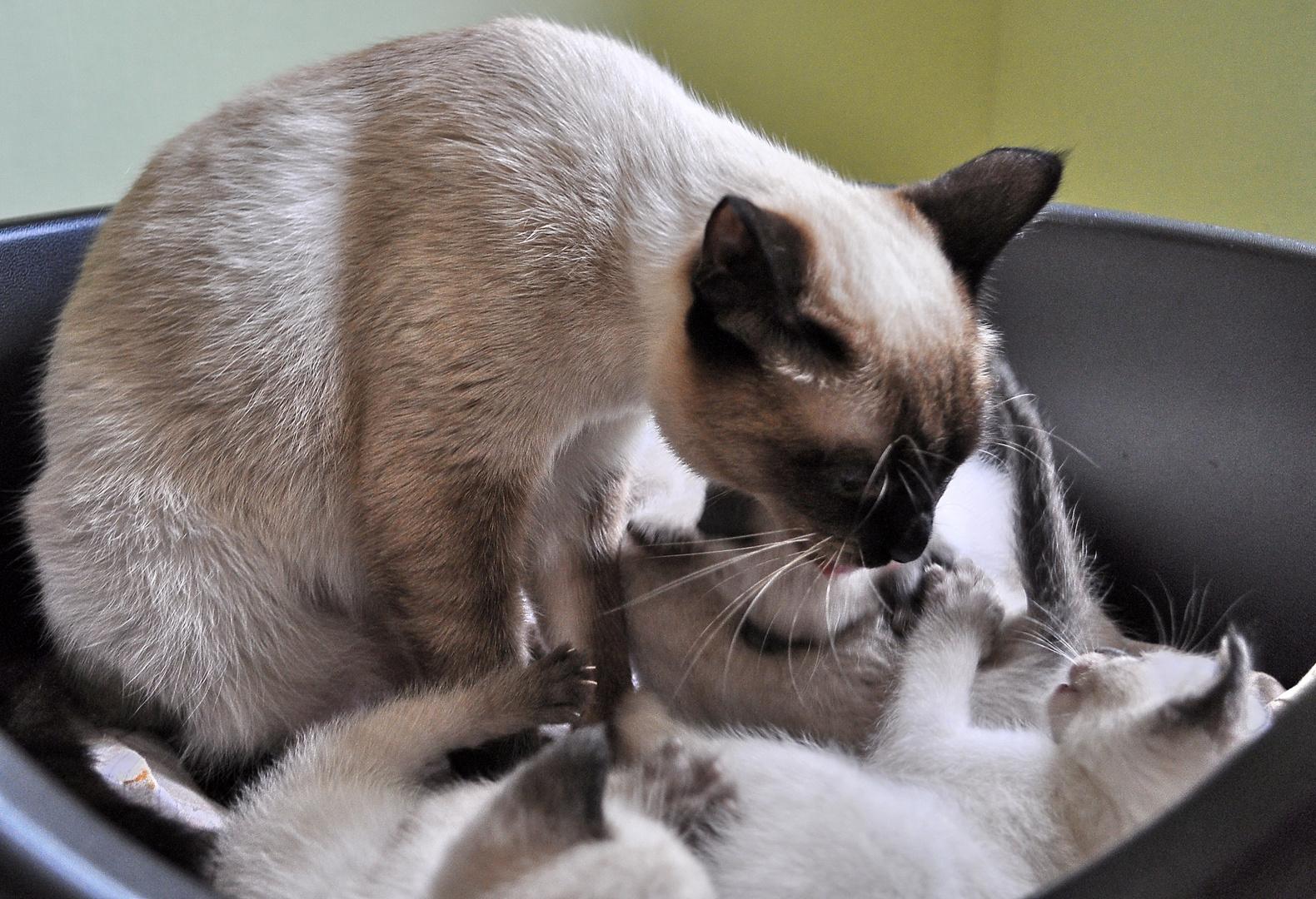 """Die Katzenmutter """"Flöckchen"""" (10 Monate alt) und ihre Kinder"""