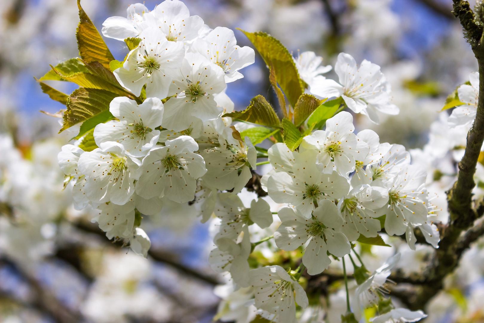 Die Kirsch Blüten....